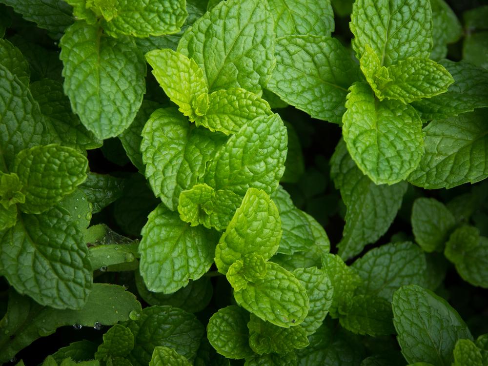 5 Công dụng chính của cây bạc hà trong việc chữa bệnh