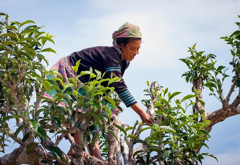 Chè Shan Tuyết Cổ Thụ Tà Xùa sao bằng tay giá hàng triệu đồng