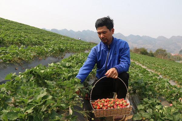 Chàng trai bỏ việc 8 triệu về quê trồng dâu tây kết hợp du lịch làm lãi hàng trăm triệu