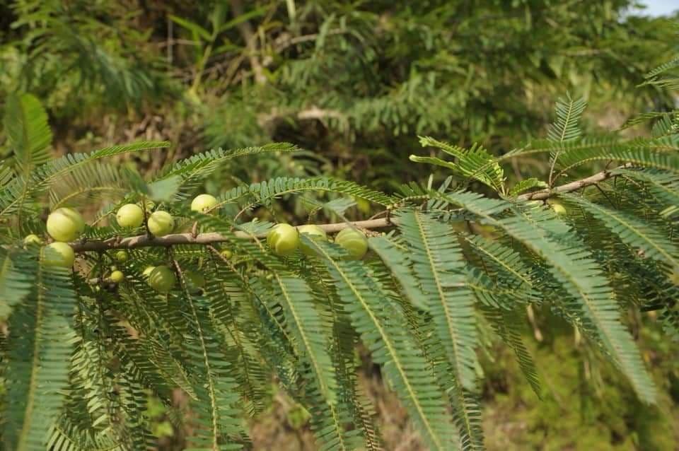 Bài thuốc chữa suy giãn tĩnh mạch bằng quả me rừng