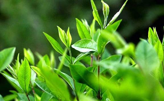 Những công thức làm đẹp da từ trà xanh các nàng cần lưu lại ngay