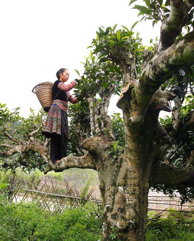 Huyền thoại về cây chè tổ Suối Giàng cực độc đáo mà ít ai biết