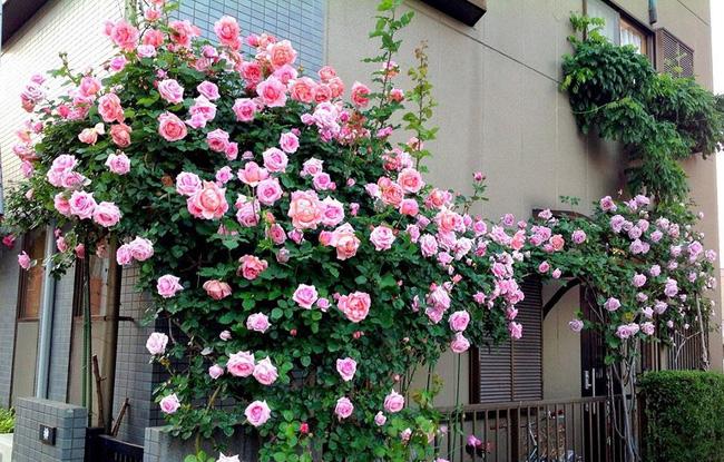 Những loại hoa chịu nắng tốt nào trồng được ở ban công?